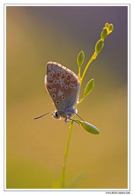 Polyommatus bellargus ou coridon (5)