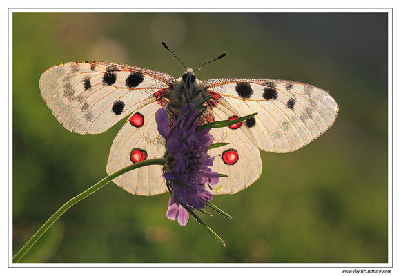 Apollon - Parnassius apollo (9)