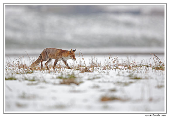 Photo Renard_83 (Renard roux -Vulpes vulpes - Red Fox)