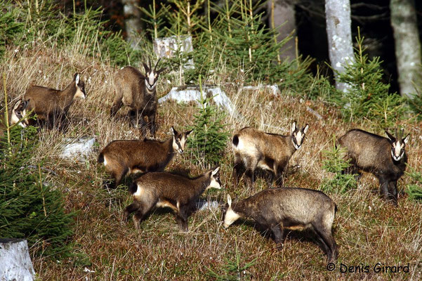 Photo Chamois_1 (Chamois - Rupicapra rupicapra )