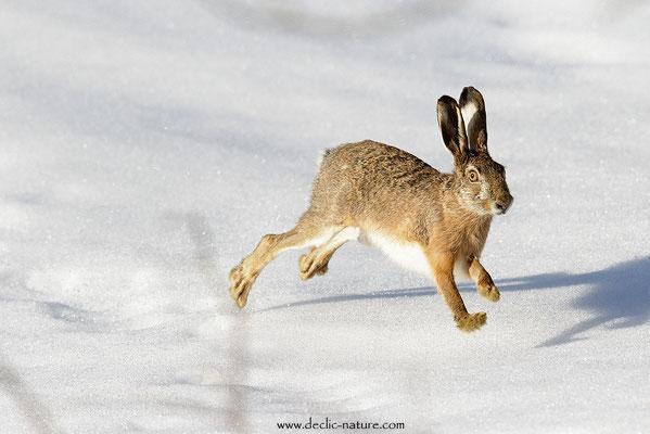 Lièvres - Lepus europaeus - Brown Hare (17)