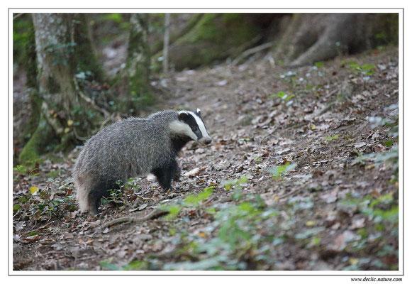 Photo_Blaireau_30 (Blaireaux - Meles meles - Eurasian Badger)