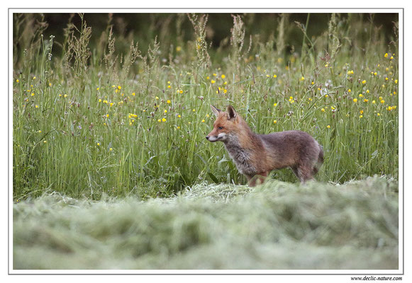 Photo Renard_49 (Renard roux -Vulpes vulpes - Red Fox)