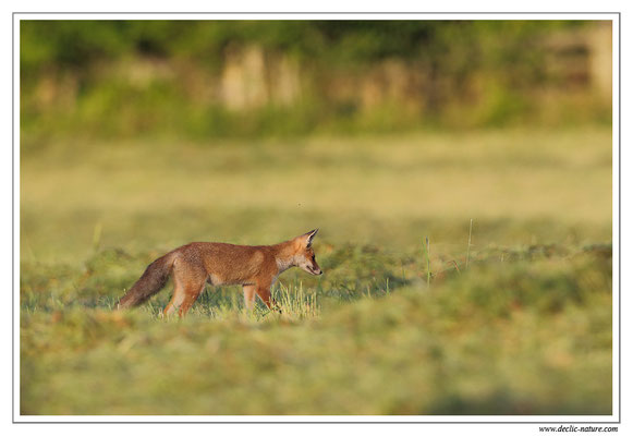 Photo Renard_82 (Renard roux -Vulpes vulpes - Red Fox)