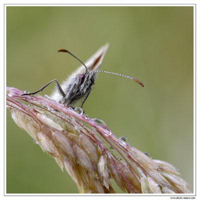 Azuré (espèce) - Polyommatus sp. (difficile d'être plus précis) (1)