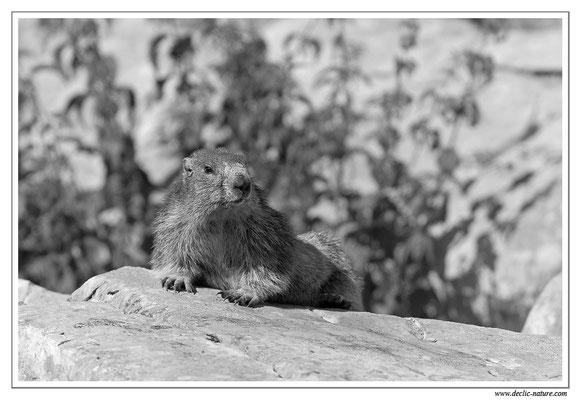 Photo Marmotte_M3