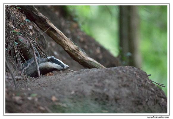 Photo_Blaireau_15 (Blaireaux - Meles meles - Eurasian Badger)