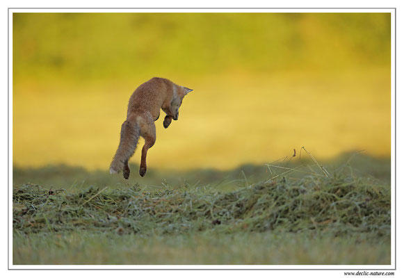 Photo Renard_67 (Renard roux -Vulpes vulpes - Red Fox)