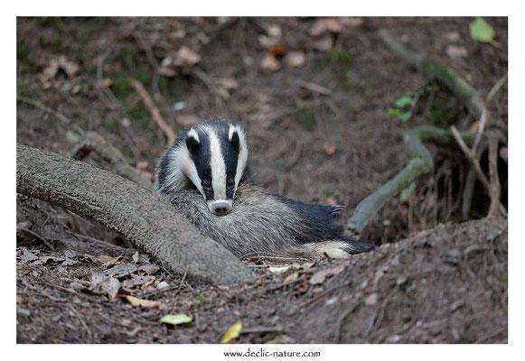 Photo_Blaireau_72 (Blaireaux - Meles meles - Eurasian Badger)