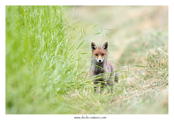 Photo Renard_200 (Renard roux -Vulpes vulpes - Red Fox)