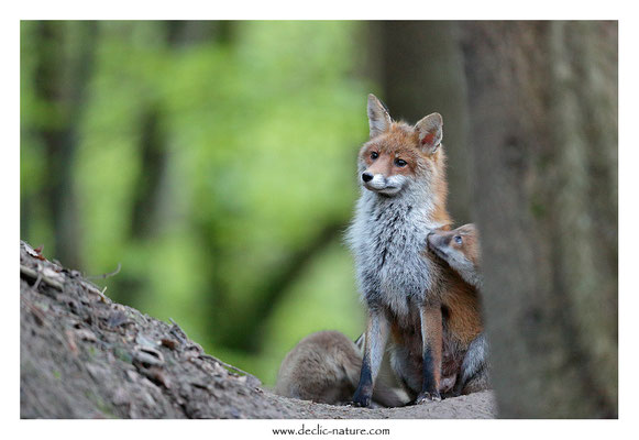 Photo Renard_178 (Renard roux -Vulpes vulpes - Red Fox)