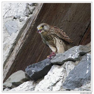 Photo 26 (Faucon crécerelle - Falco tinnunculus - Common Kestrel)