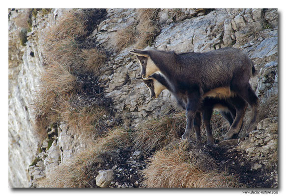 Photo Chamois_17 (Chamois - Rupicapra rupicapra )