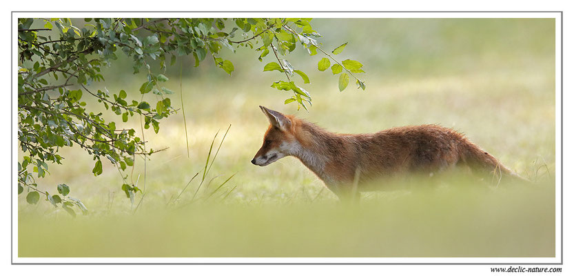 Photo Renard_101 (Renard roux -Vulpes vulpes - Red Fox)