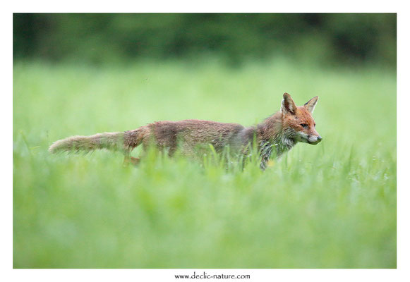 Photo Renard_139 (Renard roux -Vulpes vulpes - Red Fox)
