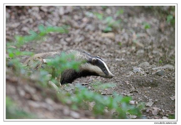 Photo_Blaireau_19 (Blaireaux - Meles meles - Eurasian Badger)