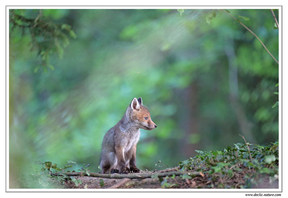 Photo Renard_127 (Renard roux -Vulpes vulpes - Red Fox)
