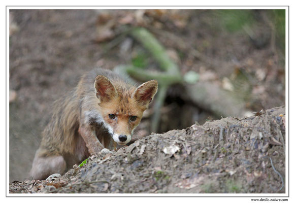 Photo Renard_87 (Renard roux -Vulpes vulpes - Red Fox)