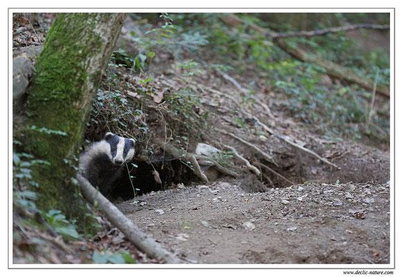 Photo_Blaireau_40 (Blaireaux - Meles meles - Eurasian Badger)