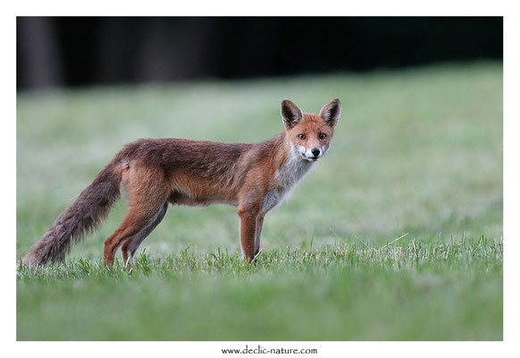 Photo Renard_183 (Renard roux -Vulpes vulpes - Red Fox)