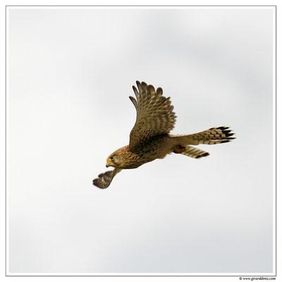 Photo 11 (Faucon crécerelle - Falco tinnunculus - Common Kestrel)