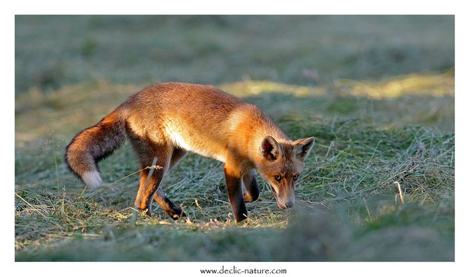Photo Renard_193 (Renard roux -Vulpes vulpes - Red Fox)