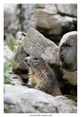 Photo Marmotte_63