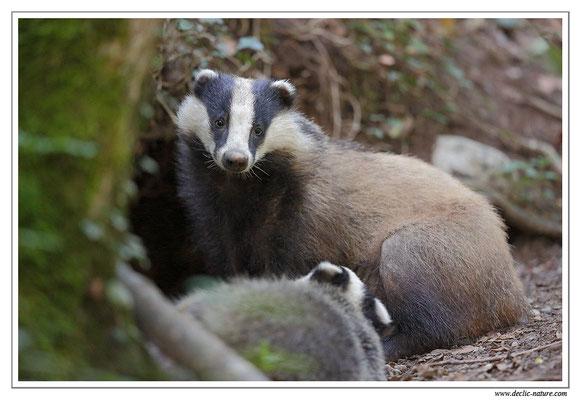 Photo_Blaireau_32 (Blaireaux - Meles meles - Eurasian Badger)