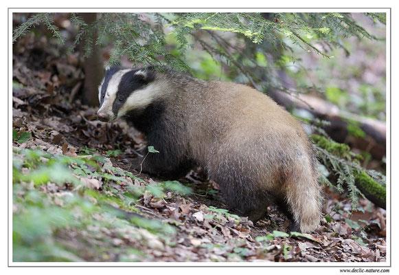 Photo_Blaireau_44 (Blaireaux - Meles meles - Eurasian Badger)