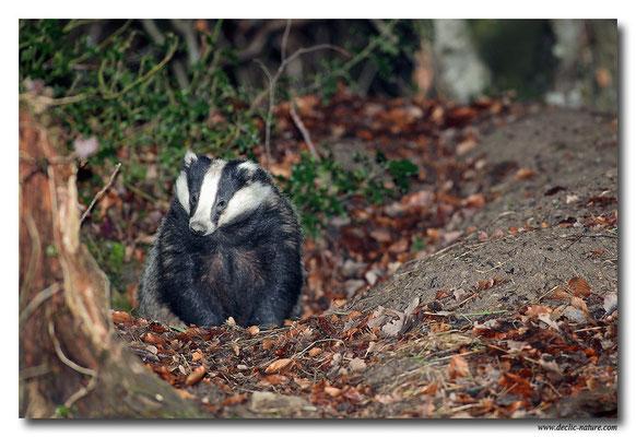 Photo_Blaireau_1 (Blaireaux - Meles meles - Eurasian Badger)