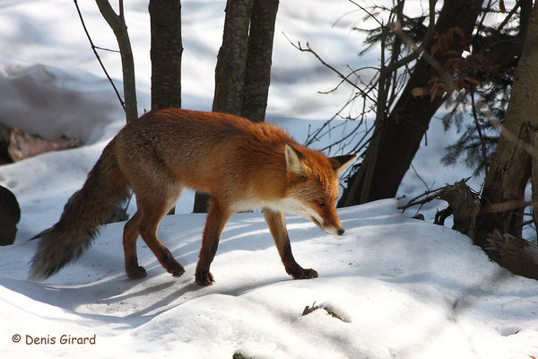 Photo Renard_10 (Renard roux -Vulpes vulpes - Red Fox)