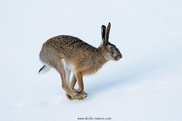 Lièvres - Lepus europaeus - Brown Hare (28)