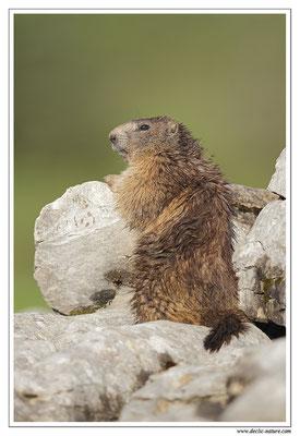 Photo Marmotte_29