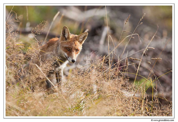 Photo Renard_13 (Renard roux -Vulpes vulpes - Red Fox)
