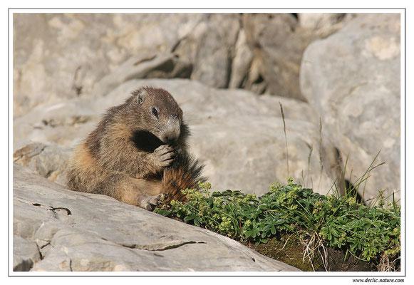 Photo Marmotte_M31