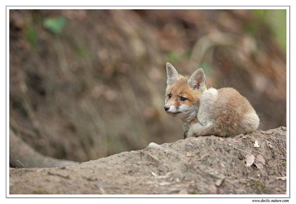 Photo Renard_99 (Renard roux -Vulpes vulpes - Red Fox)