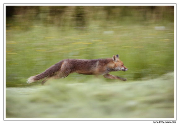 Photo Renard_47 (Renard roux -Vulpes vulpes - Red Fox)