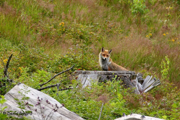 Photo Renard_5 (Renard roux -Vulpes vulpes - Red Fox)