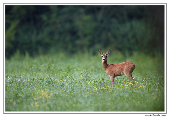 Photo Chevreuil_99 (Chevreuil - Capreolus capreolus - Roe Deer)