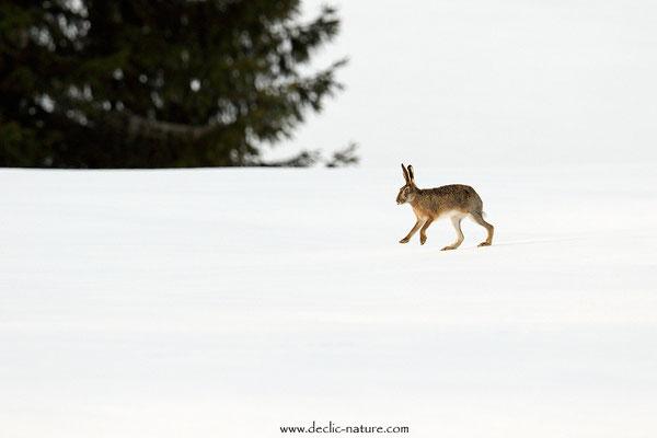 Lièvres - Lepus europaeus - Brown Hare (30)