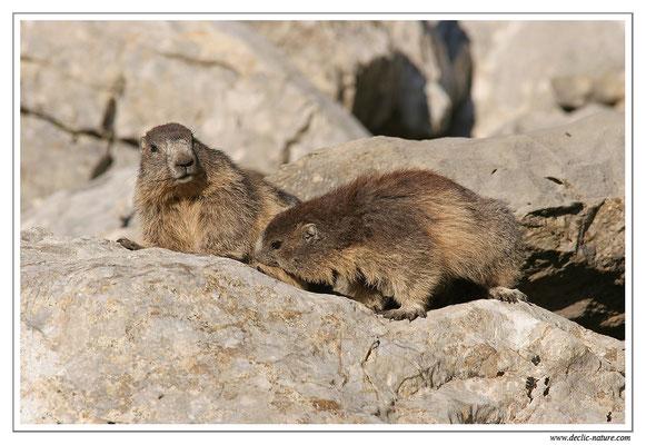 Photo Marmotte_M25