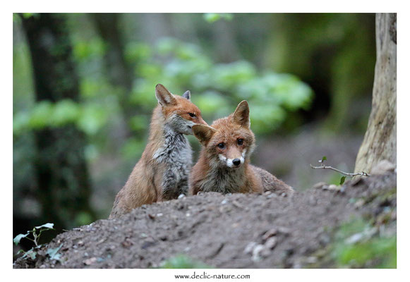 Photo Renard_186 (Renard roux -Vulpes vulpes - Red Fox)