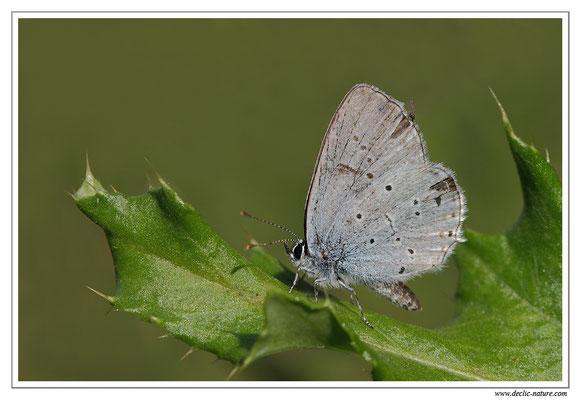 Azuré de la faucille - Everes alcetas (2)