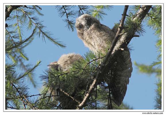 Photo 10 (Hibou moyen-duc - Asio otus - Long-eared Owl)