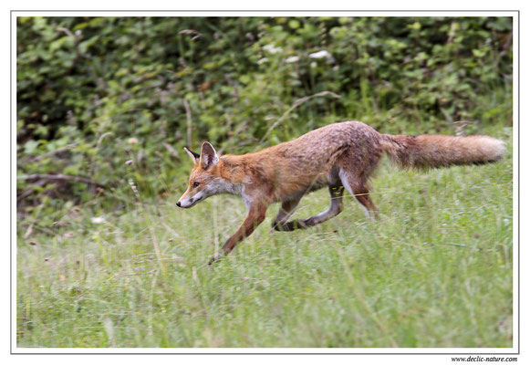 Photo Renard_30 (Renard roux -Vulpes vulpes - Red Fox)