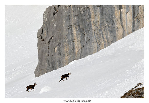 Photo Chamois_33 (Chamois - Rupicapra rupicapra )