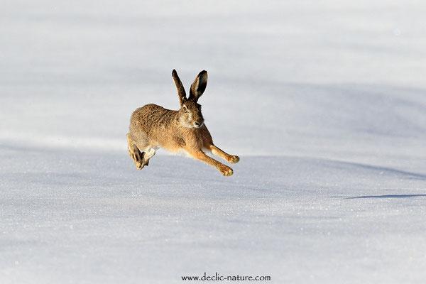 Lièvres - Lepus europaeus - Brown Hare (19)