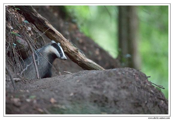 Photo_Blaireau_16 (Blaireaux - Meles meles - Eurasian Badger)