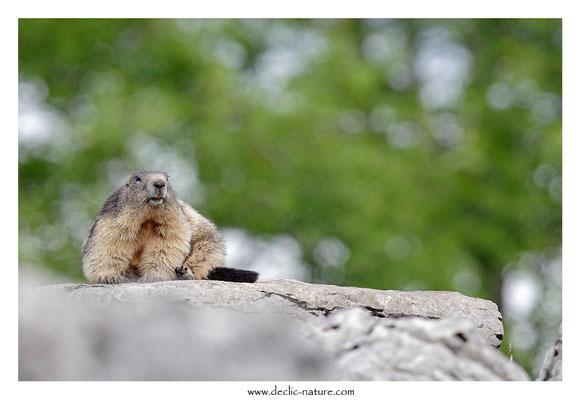 Photo Marmotte_39