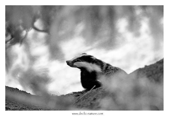 Photo_Blaireau_63 (Blaireaux - Meles meles - Eurasian Badger)